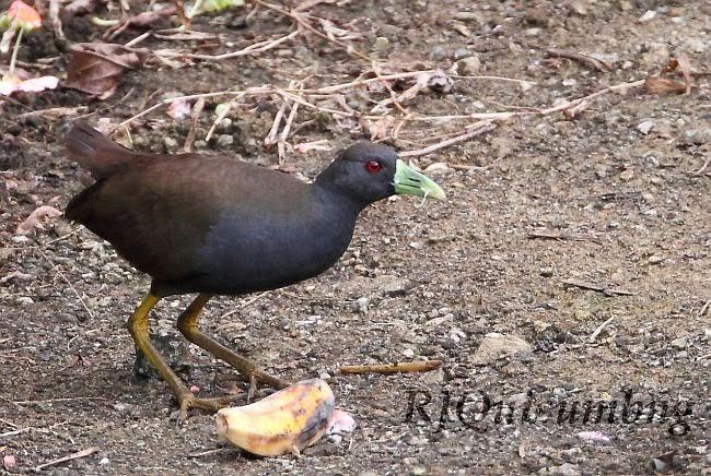 Philippine Bush-hen