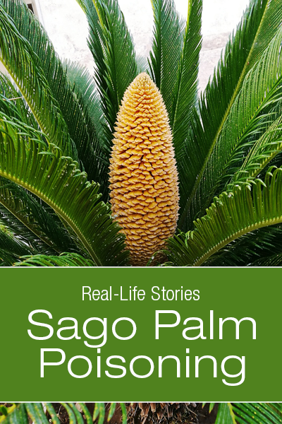Dog Conditions - Real-Life Stories: Sago Palm Poisoning: Piper's Brush with Death