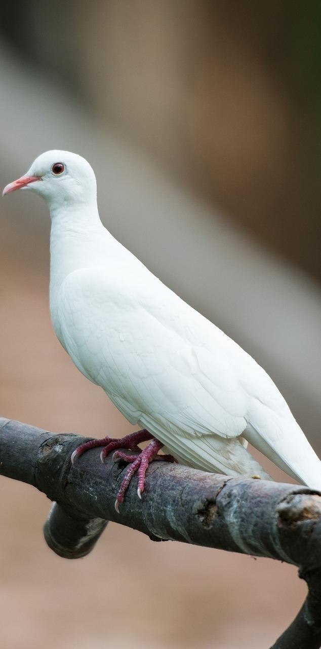 Picture of a white dove.