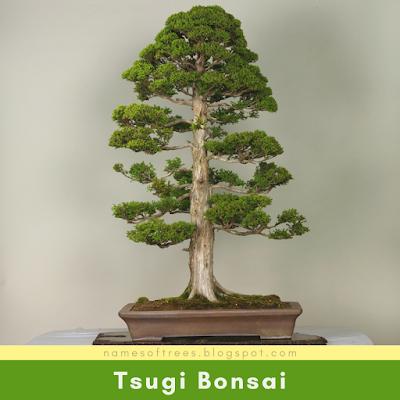 Tsugi Bonsai