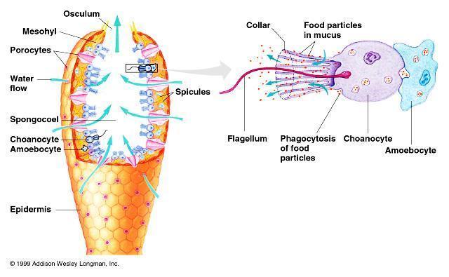 Gambar  . Struktur tubuh Porifera