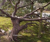 Small trees too have their supports - Kenroku-en Garden, Kanazawa, Japan