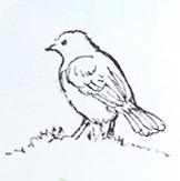 Sketch of an unknown bird - sparrow?