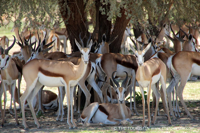 A group of roughly 30 Springbok antelopes under a tree, three of them facing the camera