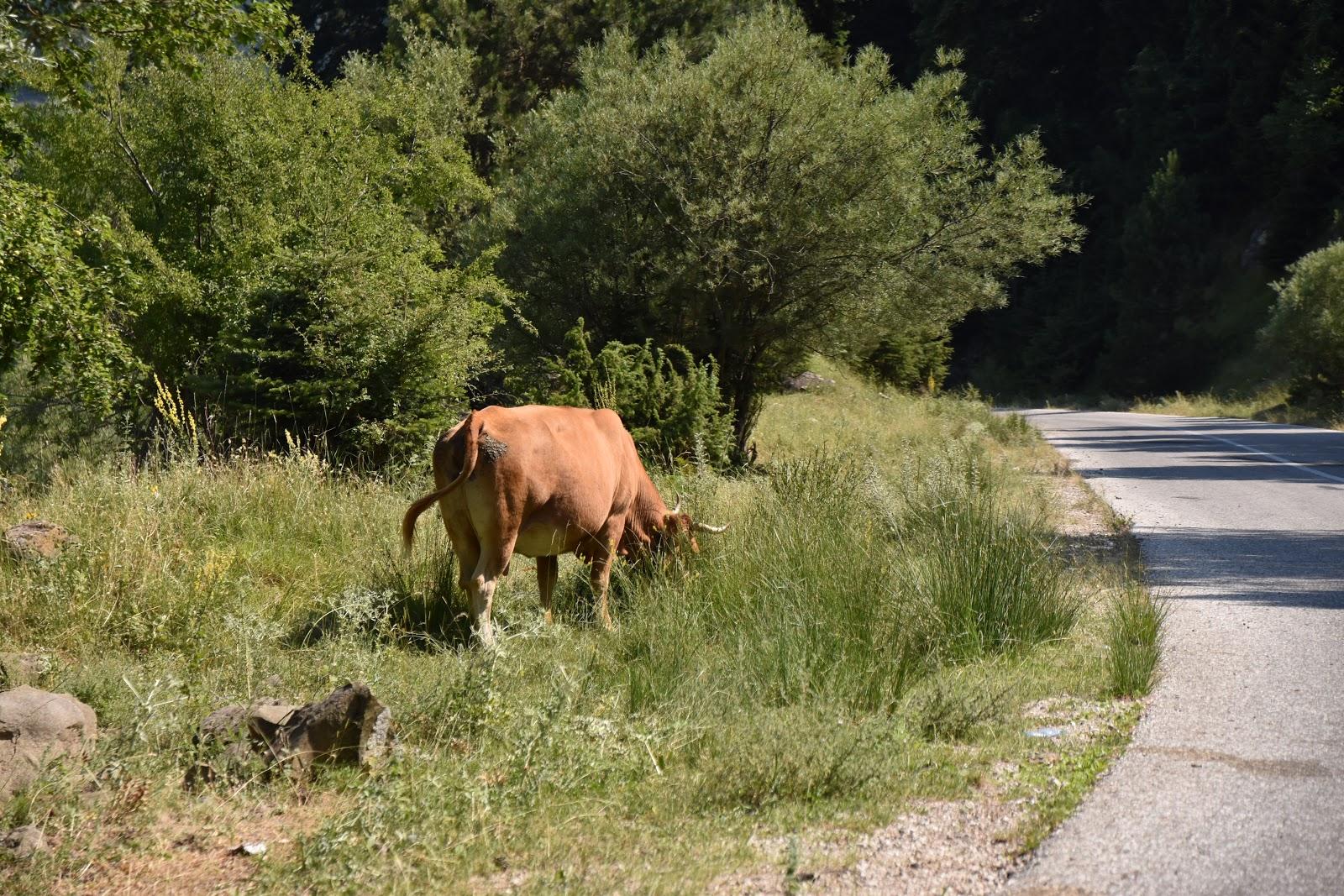 krávy v horách v Řecku