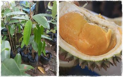 durian duri hitam | durian ochee | durian black torn | bibit durian duri hitam | budidaya durian duri hitam