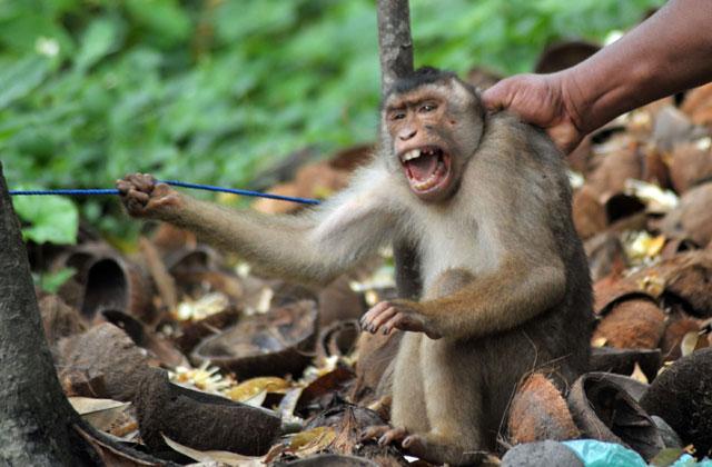 Monyet yang Nyaris Jadi Korban Penculikan
