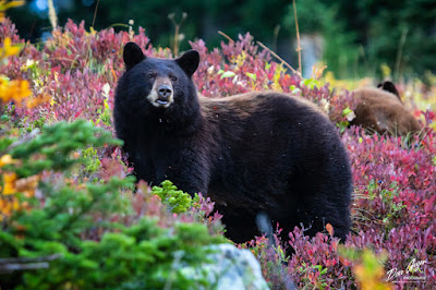 Image of mother black bear
