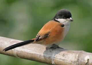 Burung Cendet - Mengatasi Burung Cendet Over Birahi dan Mengatahui Perilaku, Penyebab, dan Solusinya - Penangkaran Burung Cendet