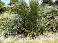 Palm tree, Pukekura Park - New Plymouth, New Zealand