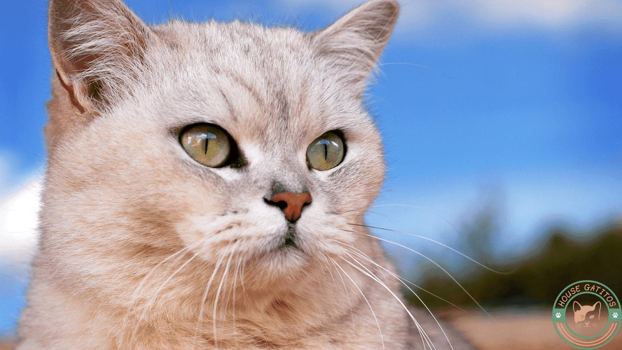 Foto de gato Burmilla