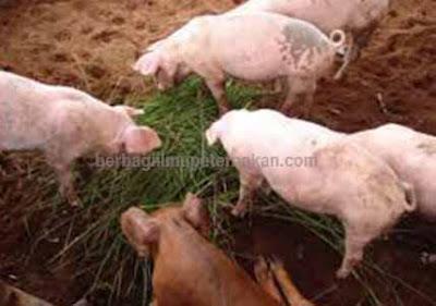 Cara Membuat Babi Cepat Gemuk