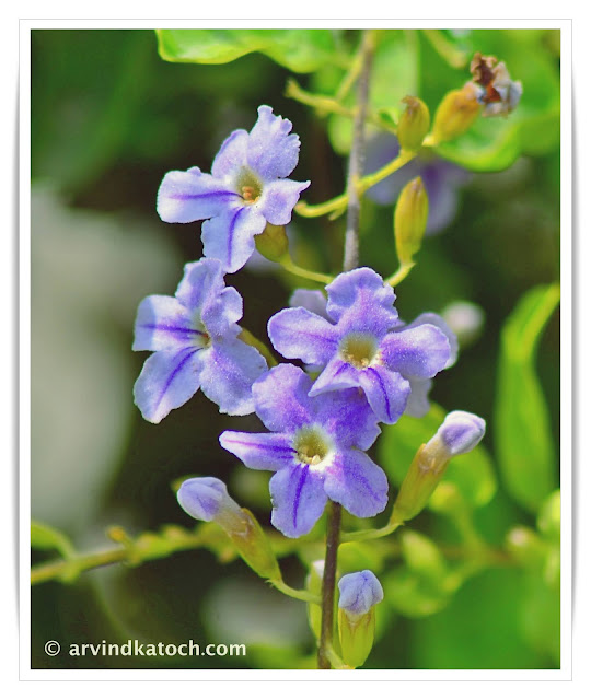 flowers, blue flowers, Duranta erecta,