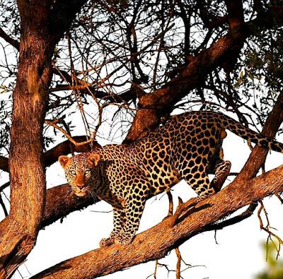 Leopard climbing down a branch.