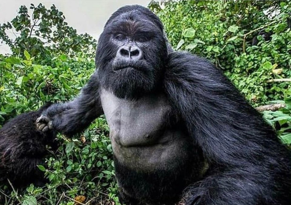 Picture of a mountain gorilla right before he punched the photographer