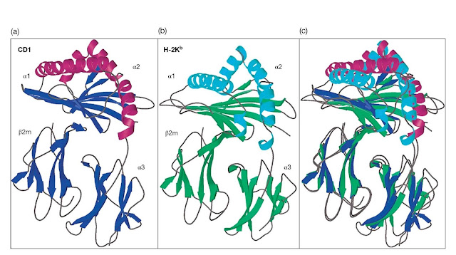 Comparison of the crystal structures of CD1 and MHC class I