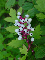 White berries with black dots in the center on red stems. They look like baby doll eyes.