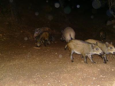 Wild Boar, Jabali, Cazorla