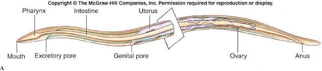 Gambar   Struktur tubuh cacing gilig (Nematoda)