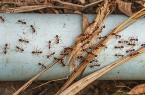 Penyebab Semut Cepat Datang di Rumah
