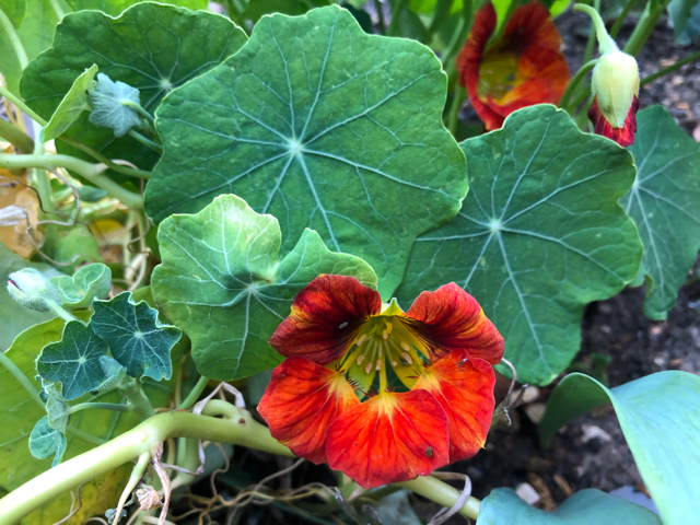 Early flowering deep salmon coloured nasturtium plants