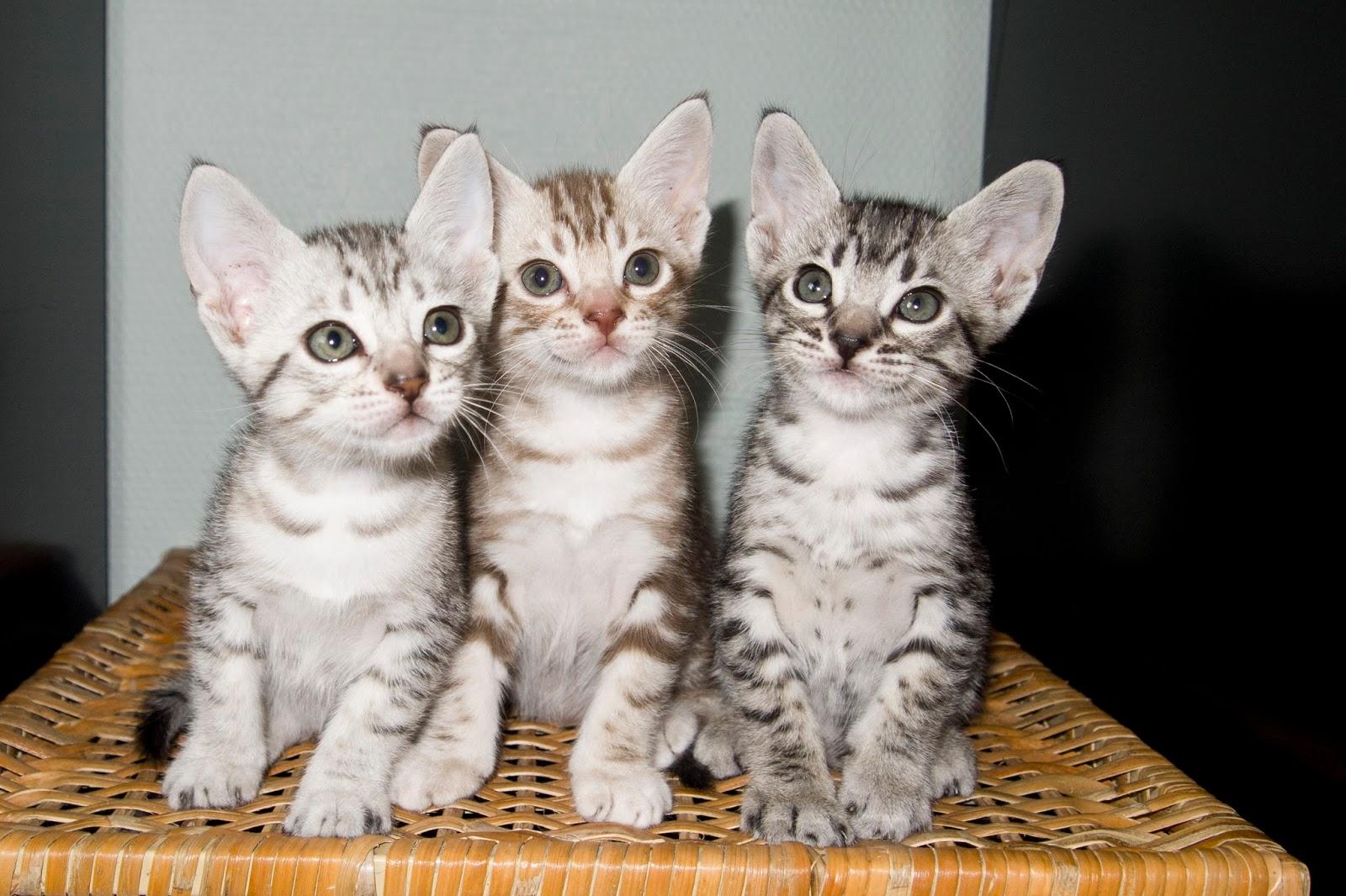 Foto Kucing Ocicat Lihat Dan Kenali Yuk Foto Kucing Terbaru
