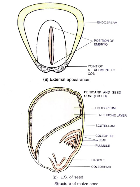 structure of maize seed