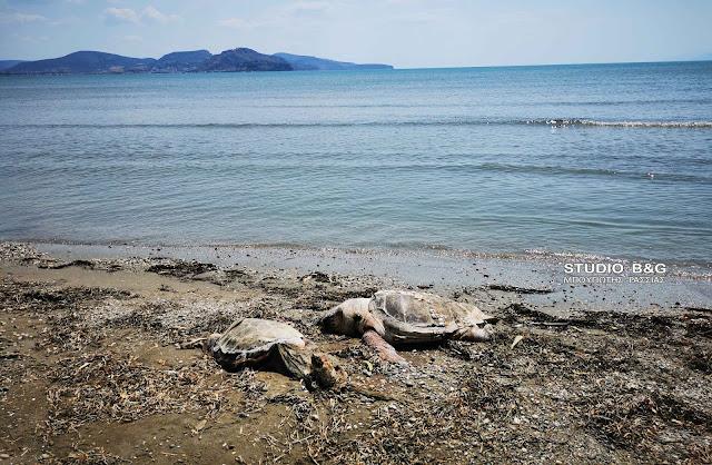 Νεκρές δυο θαλάσσιες χελώνες σε παραλία της Αργολίδας