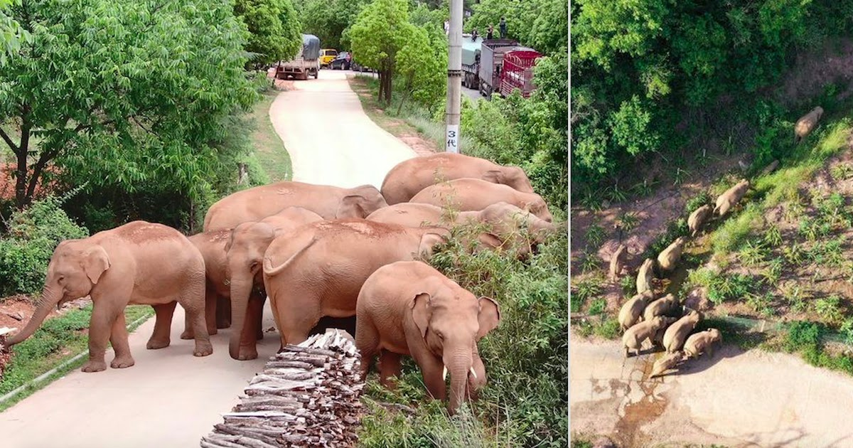 Herd Of Asian Elephants Is Heading Towards Major City In China After Unexpected 500Km Trek