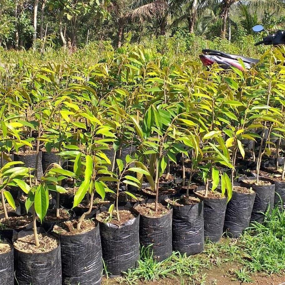 Bibit Durian Montong Super jumbo Prabumulih