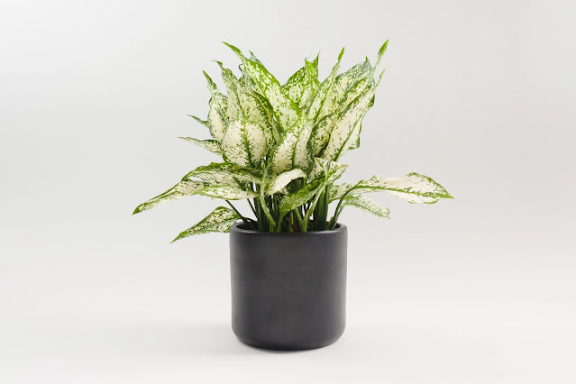 Green and white aglaonema / first diamond plant from Plant Shop Seattle