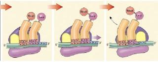 ribosom, proses translokasi translasi, translokasi translasi, central dogma