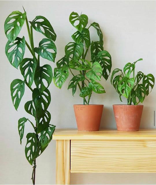 jenis-tanaman-monstera-adansonii