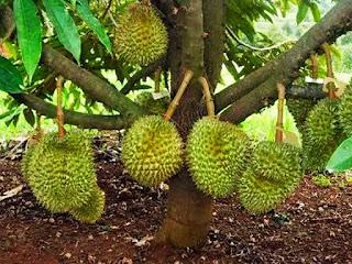 cara-memangkas-pohon-durian.jpg
