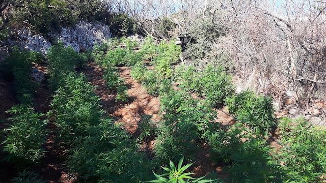 Εντοπίστηκε φυτεία με 651 δενδρύλλια κάνναβης στη Λακωνία