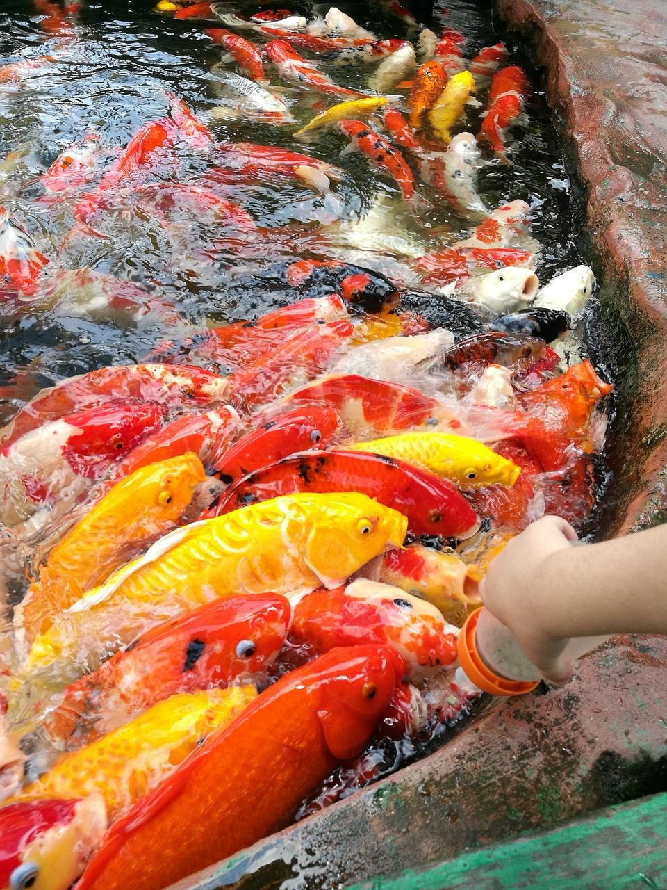 penyakit Kutu Jangkar (Anchor Worm) ikan koi