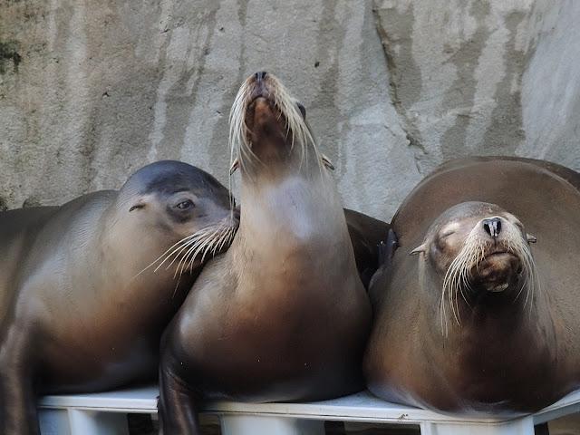 In de zoo: de zeeleeuwen