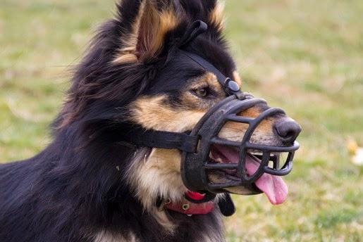 O czym powinniśmy pamiętać, gdy kupujemy kagańca dla psa?