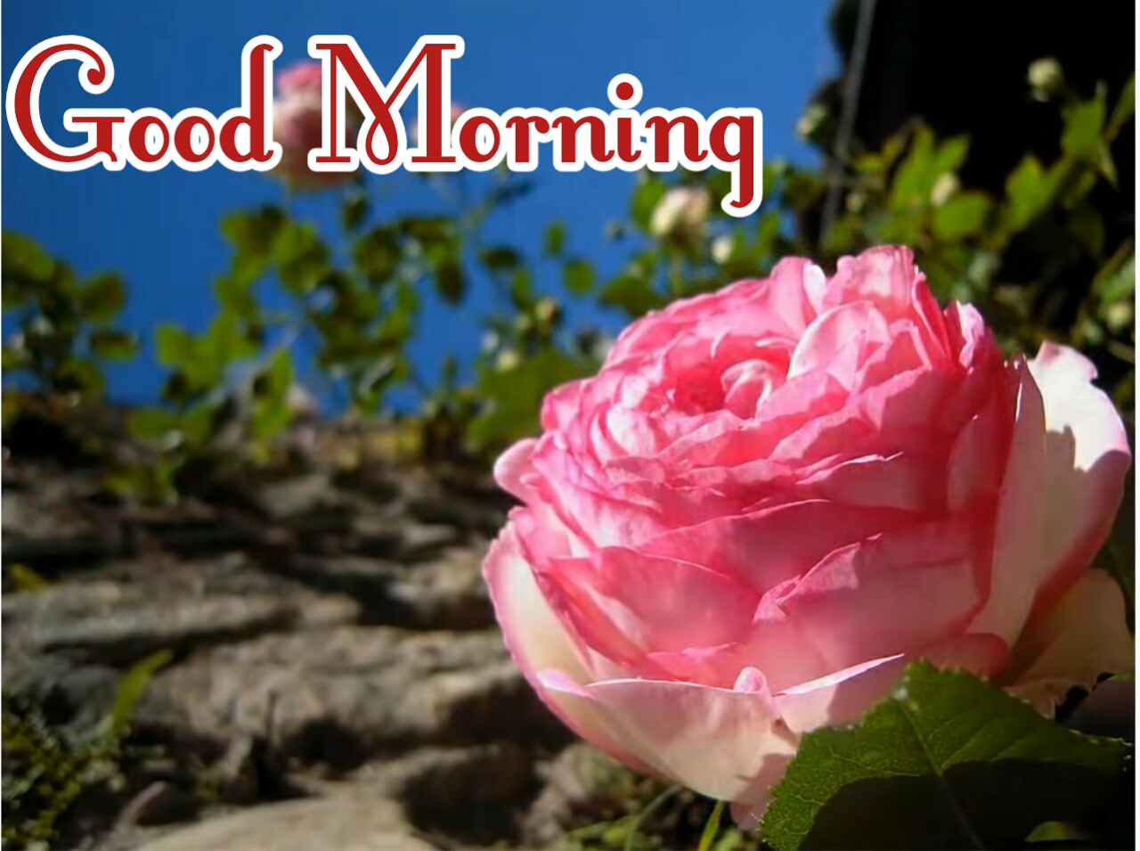 Good Morning Rose Images Photos Pics Wallpaper With Flower