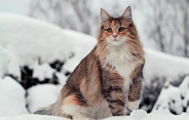 Tout ce que vous devez savoir sur le chat norvégien