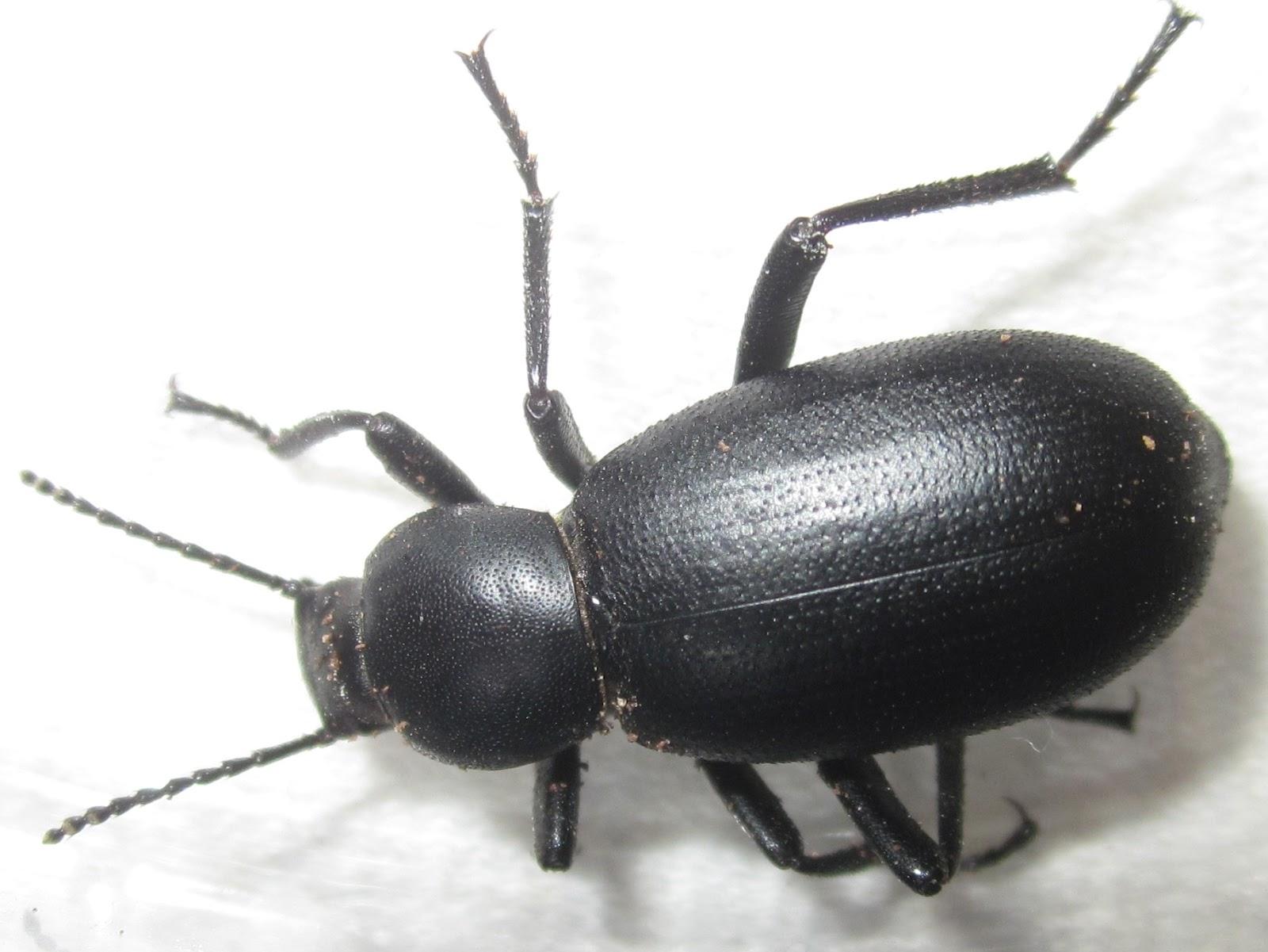 E.nigrina%252311.JPG