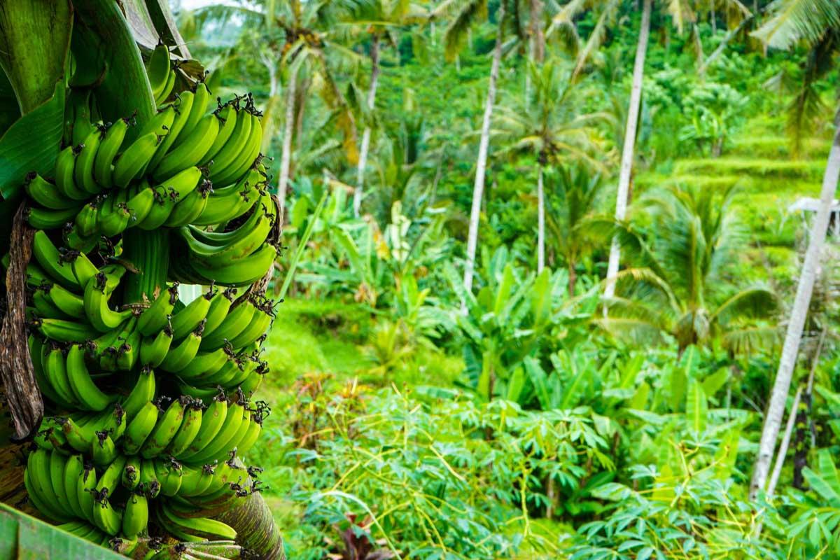 pisang, pisang blue java, pisang kepok, pisang kepok awu, bibit pisang blue java, bibit pisang kepok awu