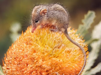 A brown Honey Possum sitting on an orange flower.