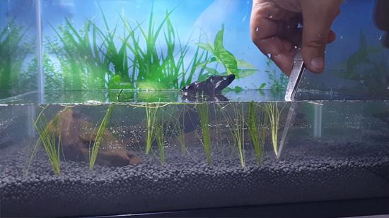 Aquarium Carpet Using Hairgrass