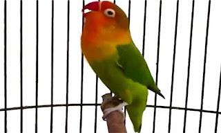 Cara Perawatan Lovebird Harian Biar Ngekek Panjang, Pola Makanan Lovebird Biar Rajin Ngekek, 5 Cara Melatih Lovebird Ngekek Panjang Seperti Perawatan Lovebird