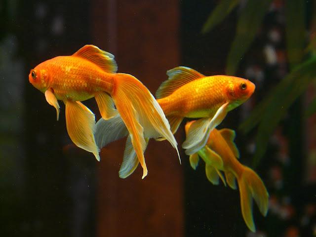 pompi-akvarium