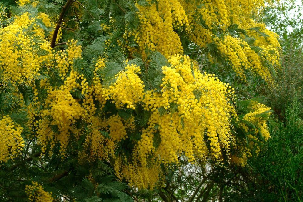 mimoza-cvijeće-snaga-žena