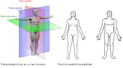 Resultado de imagen para posición anatómica