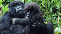 african mountain gorilla pictures
