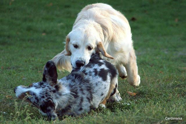 pies, park, zabawa, welsh corgi, corgi, cardigan, golden retriever, patyk, pogoń, ucieczka